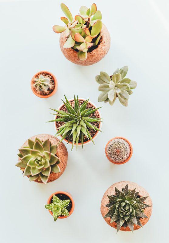 cactus for conservatories